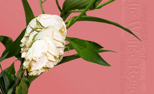 a photograph of dying white flowers and greenery in front of a pink background. The words 'die weisse rose' have been added to the image multiple times on the right, written vertically across the page.